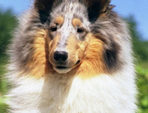 Collie Breed Standard