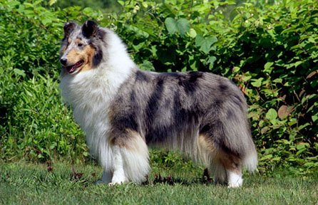 """Example of a blue merle collie for the article """"Collie History""""."""